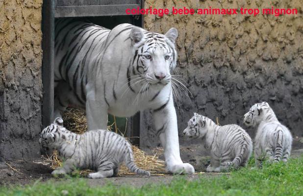Coloriage Bebe Animaux Trop Mignon